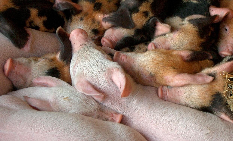 piglets-1392593